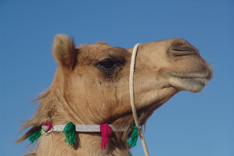 Download Camel stock image. Image of east, green, middle, pose - 1421243