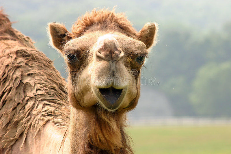 Download Camel stock image. Image of wildlife, mouth, mammal, head - 167003