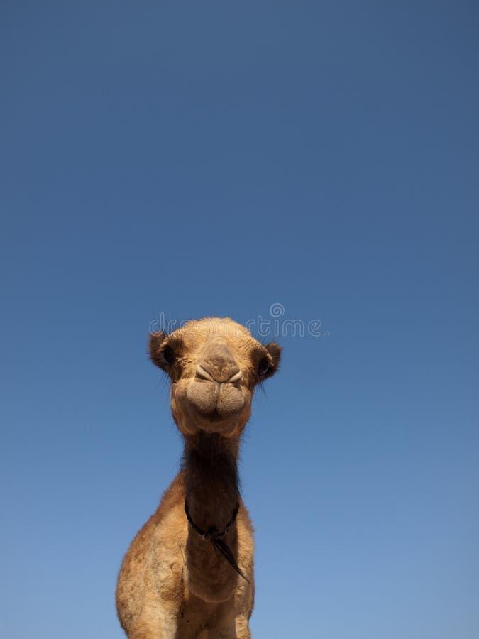 Download Camel stock image. Image of horizontal, vertical, east - 17876047