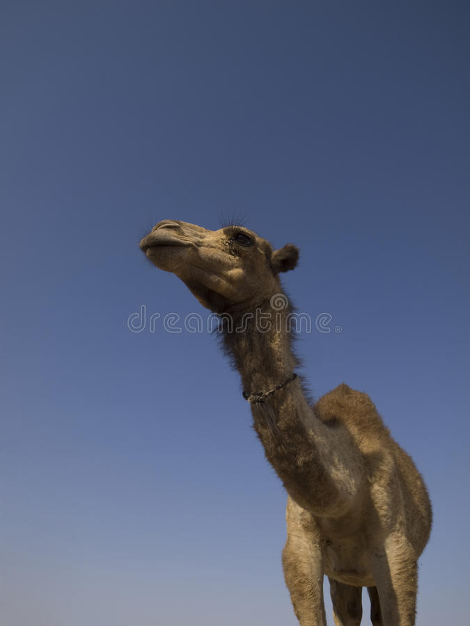 Download Camel stock photo. Image of looking, face, persian, desert - 17876070
