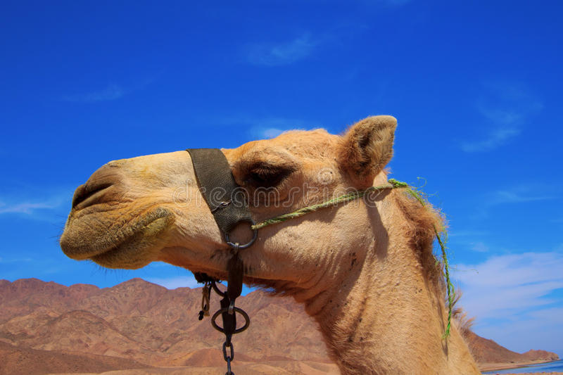 Download Camel stock photo. Image of livestock, brown, background - 18943434