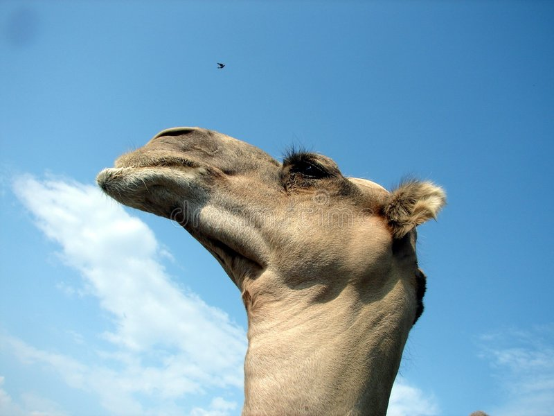 Download Camel stock image. Image of water, circus, sand, clouds - 194121