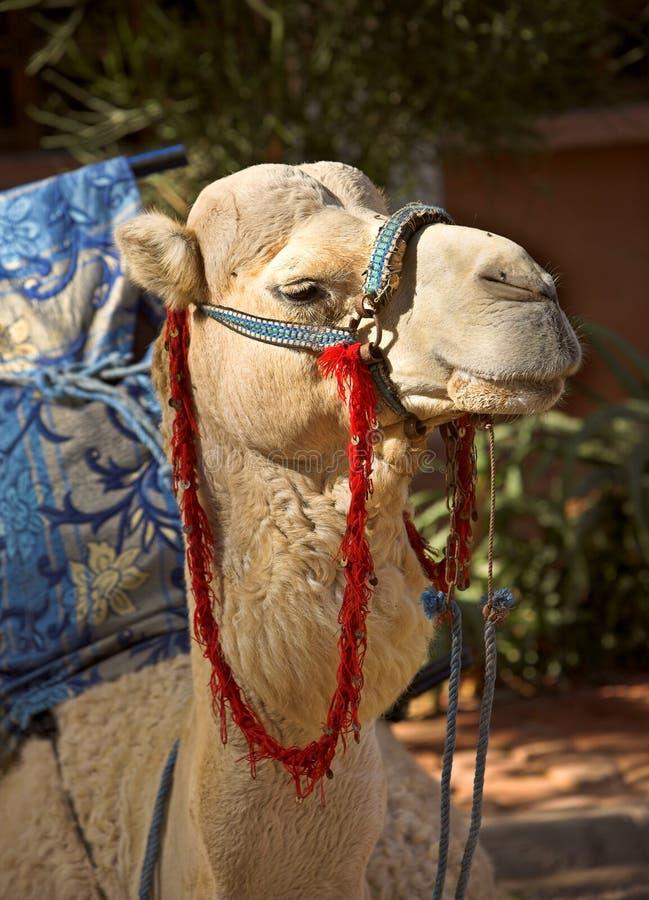 Free Camel Stock Image - 1980631