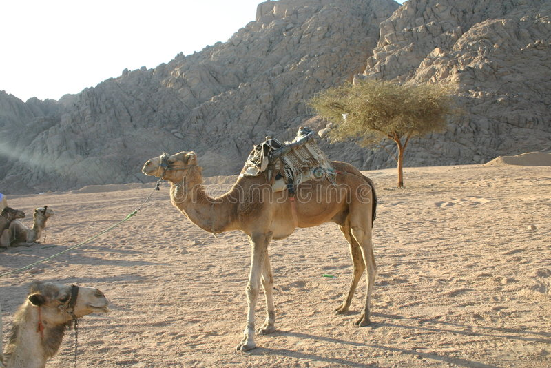 Download Camel stock image. Image of dromedary, ears, hair, hump - 2122319