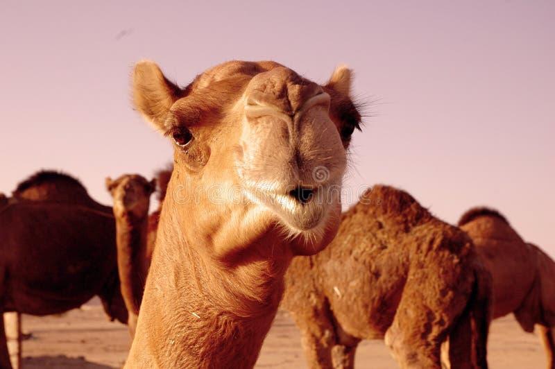 Camel. Mammal camel desert lips animal farm stock images
