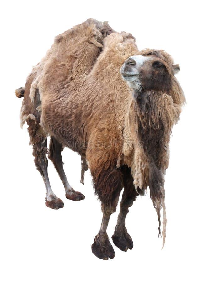Download Camel stock image. Image of brown, egyptian, desert, nose - 25386279