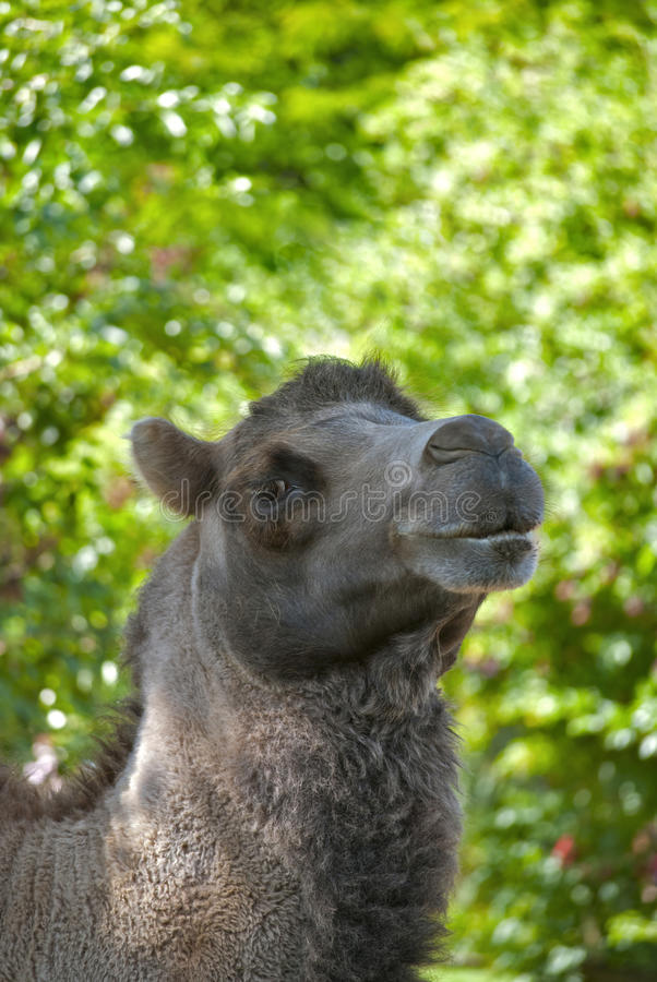 Download Camel stock photo. Image of background, east, summer - 26135144