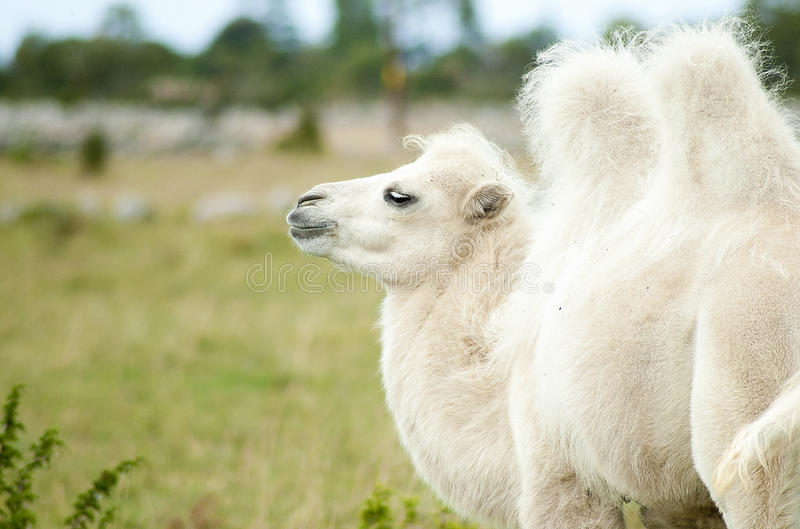 Download Camel stock photo. Image of camel, cute, portrait, animal - 26377540
