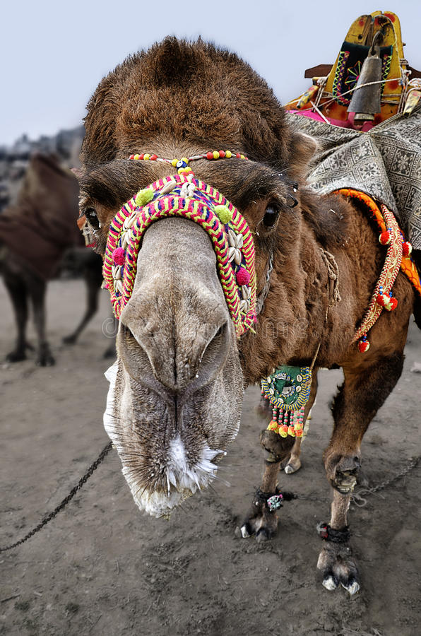 Camel. A close up of a decorated camel waiting in Camel Wrestling Festival area royalty free stock image
