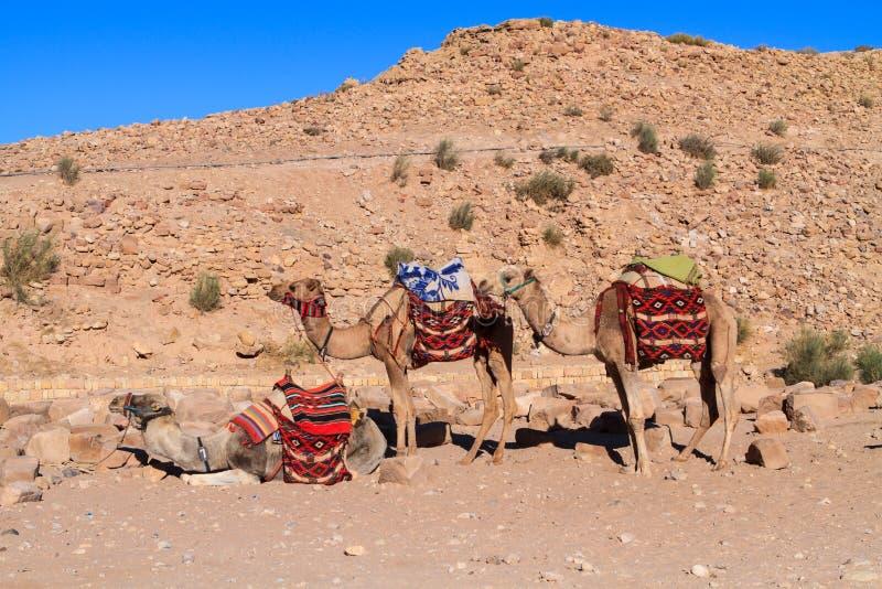 Camel. Sitting on a desert land stock images