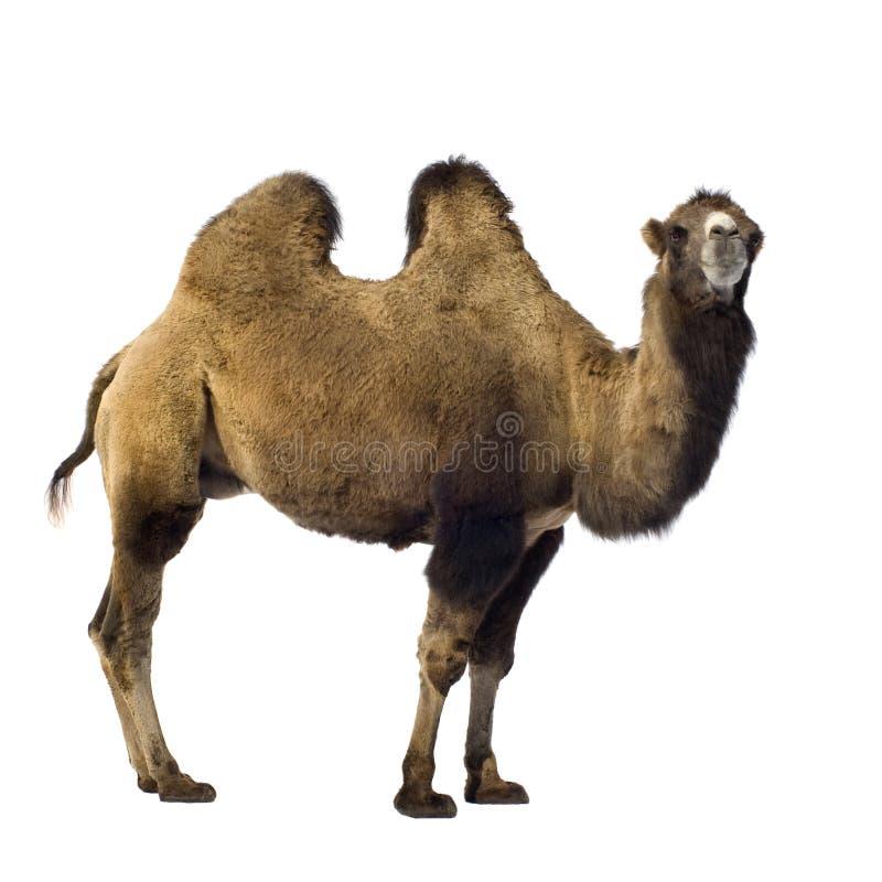Free Camel Royalty Free Stock Photos - 3343598