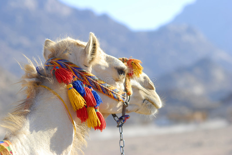 Download Camel stock photo. Image of excursion, trip, arab, africa - 4324408