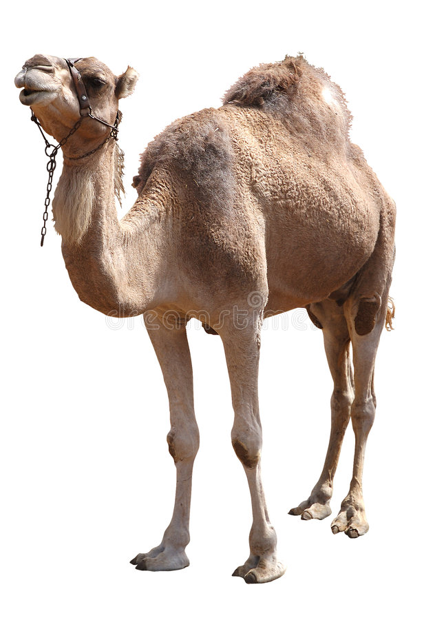 Download Camel stock photo. Image of desert, hump, isolated, africa - 6645000