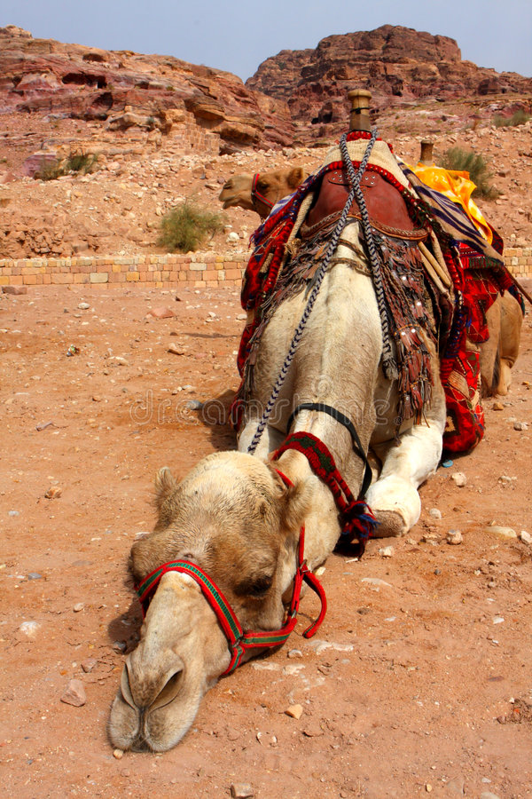 Download Camel stock image. Image of mouth, strength, journey, past - 6954497