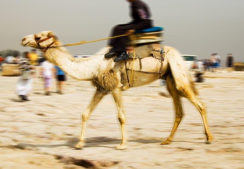 Download Camel stock image. Image of caravan, daytime, adventure - 769225