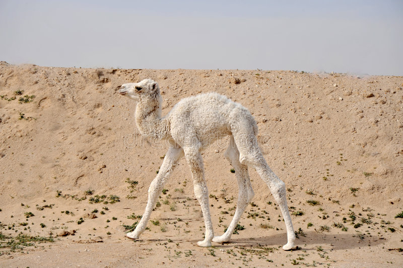 Camel royalty free stock photography