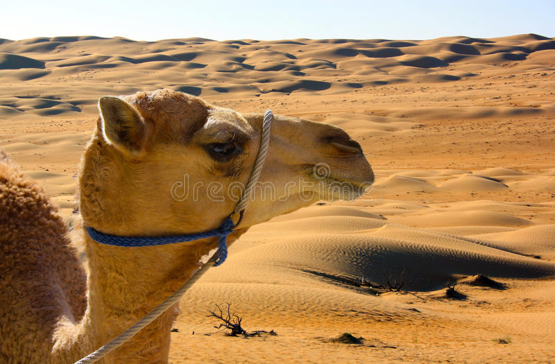 Download Camel Stock Images - Image: 37093074