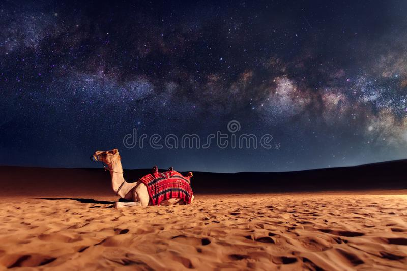 Camel on the sand in desert. Camel animal is sitting on the sand dune in a desert. Milky Way galaxy and stars in the sky. United Arab Emirates royalty free stock image