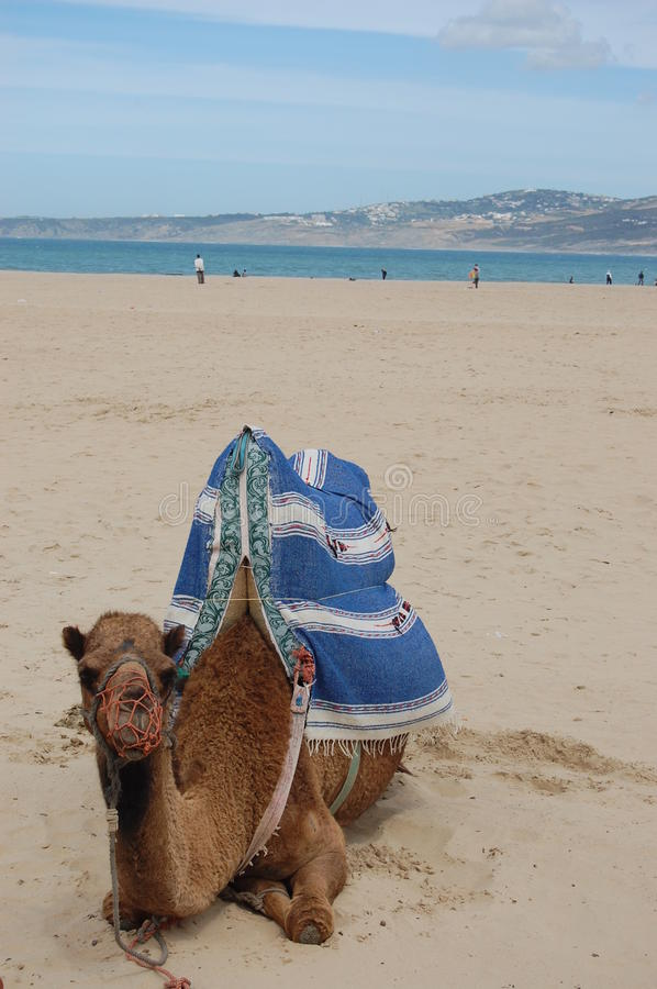 Download Camel on a beach stock photo. Image of travel, arabic - 28612430