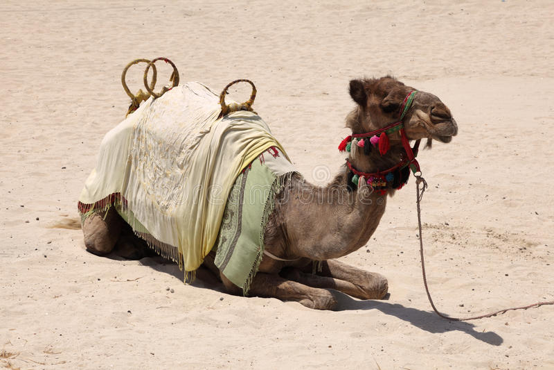 Camel on the beach in Dubai royalty free stock photography