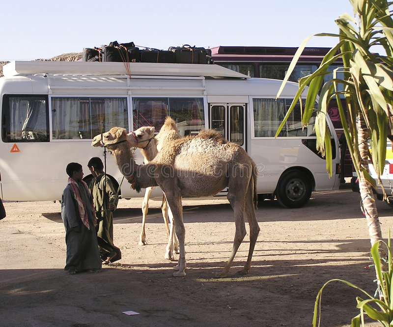 Camel and bus , Egypt, Africa royalty free stock photos