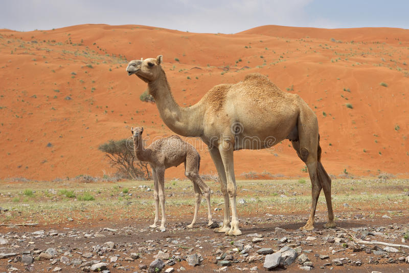 Download Camel and Calf stock photo. Image of oman, east, arabian - 16606178