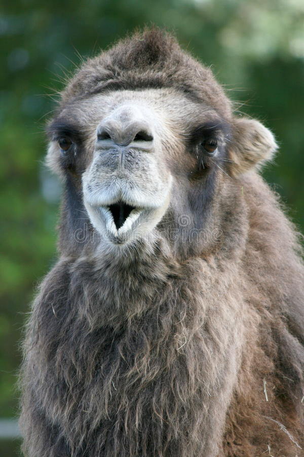 Camel (Camelidae). A camel portrait seen from the front royalty free stock photo