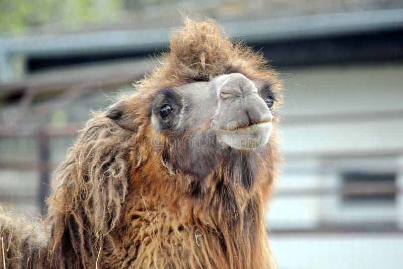Camel Camelus Bactrianus Looking royalty free stock photos