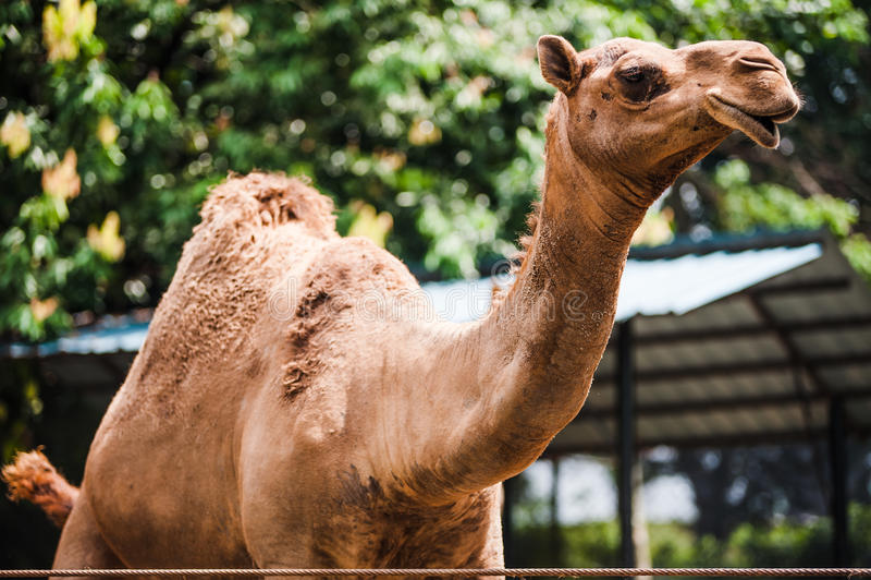 Camel in captivity. View of a camel in captivity royalty free stock photos