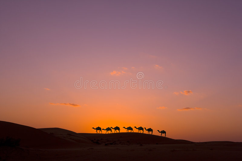 Camel caravan. In the desert of the United Arabic Emirates