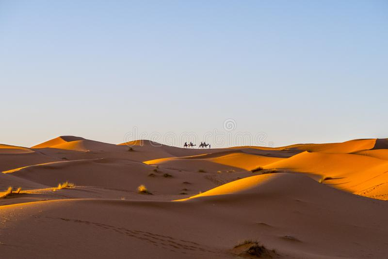 Camel caravan in Sahara desert royalty free stock photography