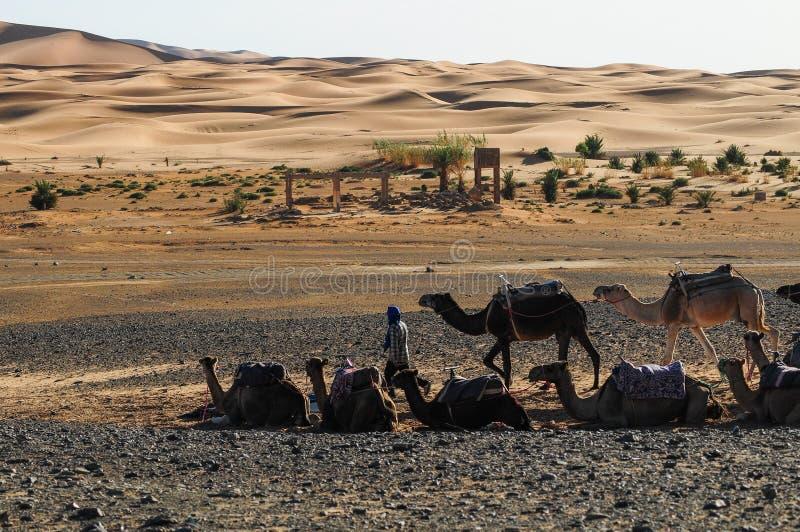Camel caravans are heading deep into the Sahara Desert. Morocco royalty free stock photos