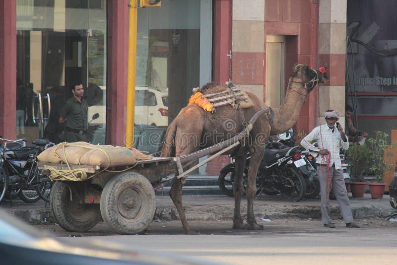 Camel Cart for transportation goods in Jaipur stock image