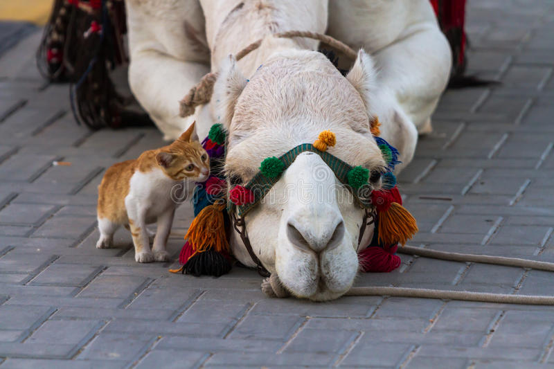 Camel and Cat. Kitten trying to get acquainted with the camels lying on the ground stock image