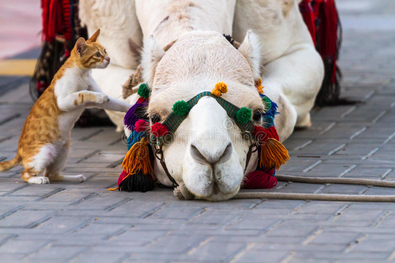 Camel and Cat. Kitten trying to get acquainted with the camels lying on the ground stock images