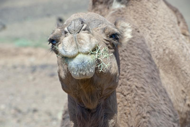 Camel chewing thorny plant, camel eating pricky shrub in desert stock photos