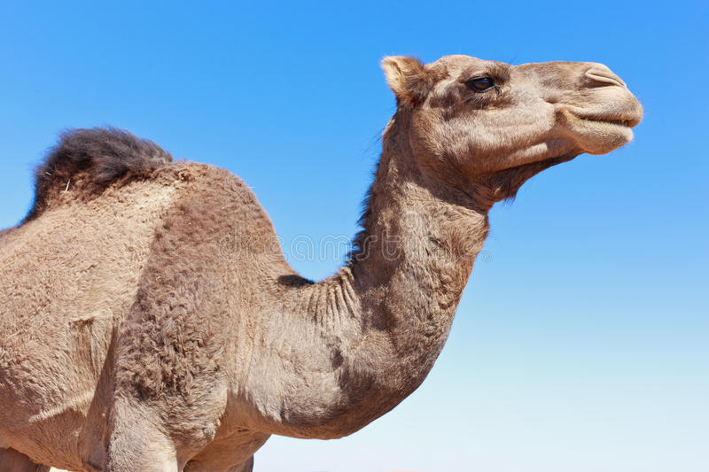 Download Camel  close-up stock image. Image of eyes, head, close - 22507133