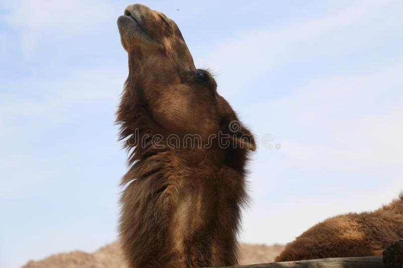 camel close up of face fury looking to the sky stock photography