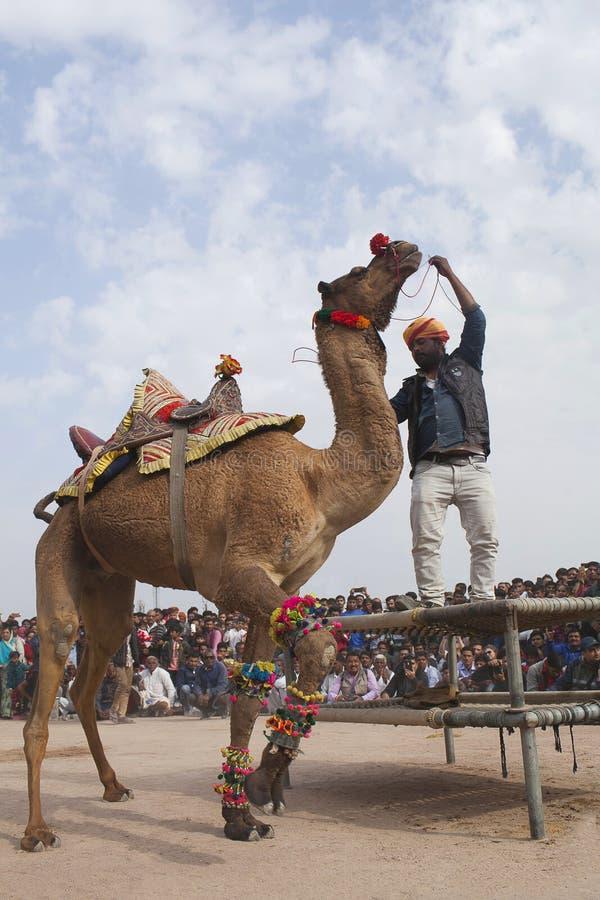 Camel dancing during camel festival in Bikaner, Rajasthan state, India royalty free stock image