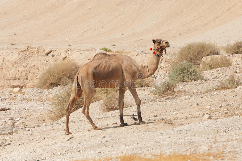 Download Camel In The Desert Stock Images - Image: 11367894