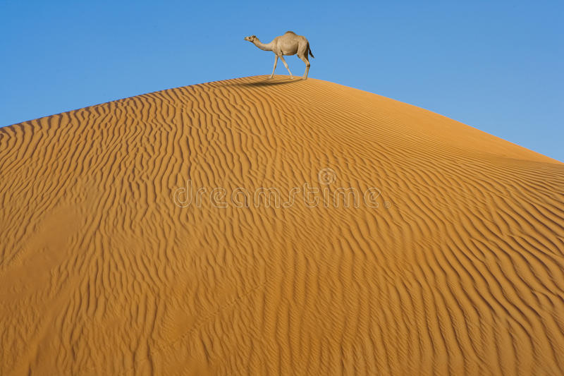 Download Camel in desert stock photo. Image of sand, oman, solitude - 18601796