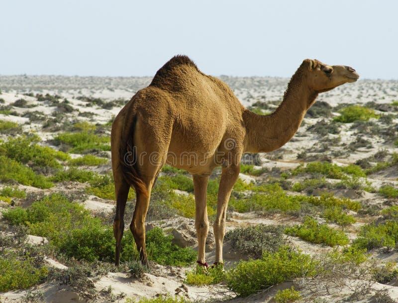 Camel at desert royalty free stock image