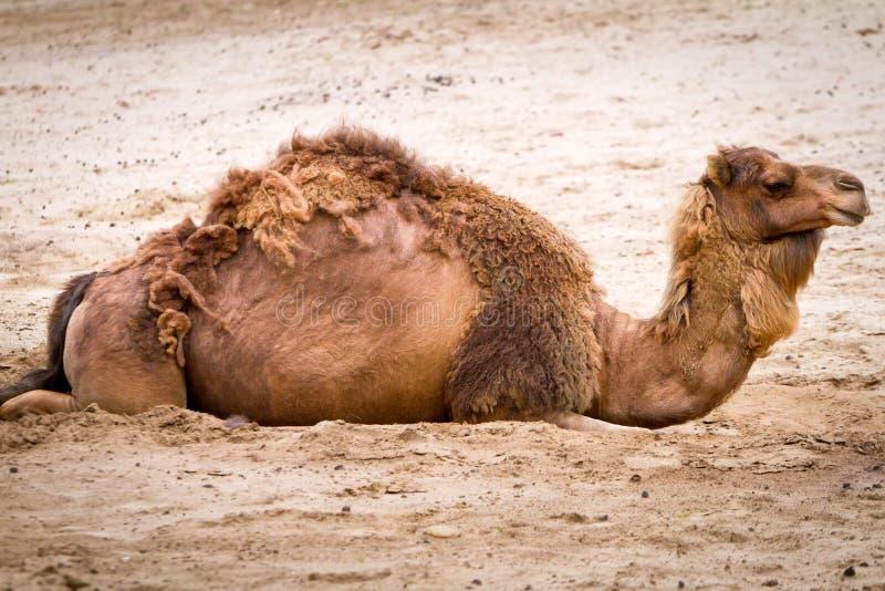 Camel on the desert stock image
