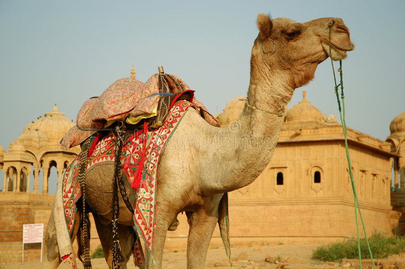 Camel. Desert royalty free stock photo