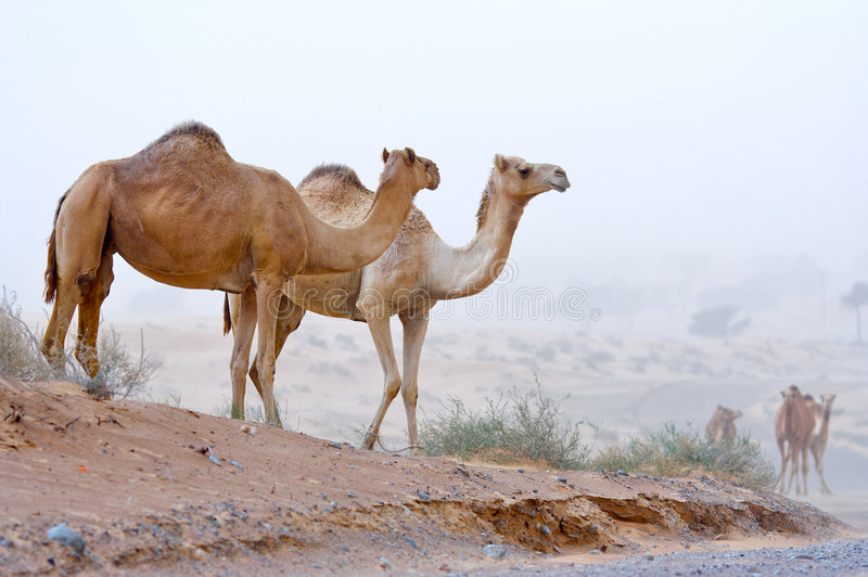 Download Camel in the desert. stock photo. Image of emirates, arid - 4703706