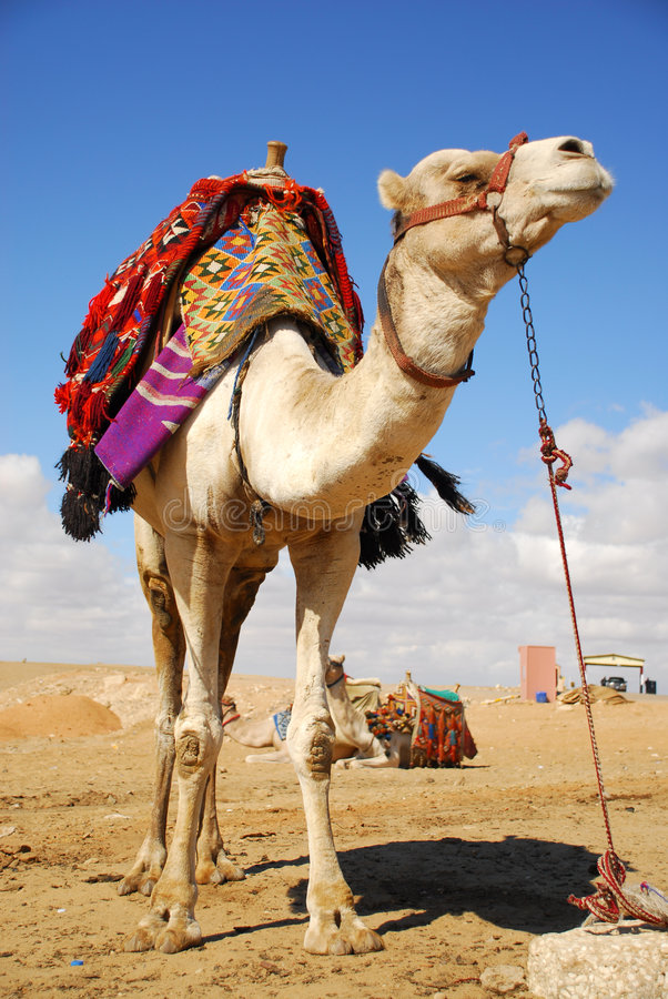 Camel in the desert. Camel in the egyption desert royalty free stock photography