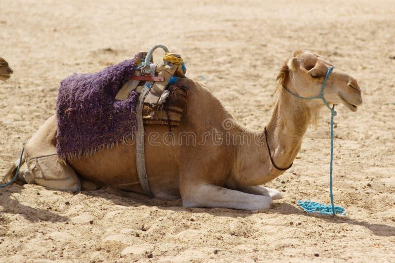 Camel in desert stock image