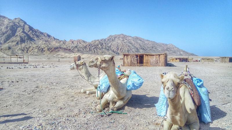 Camel & desert royalty free stock photos