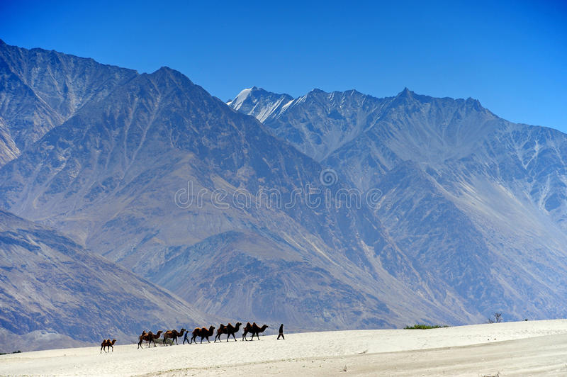 Camel in desert, Leh in Ladakh , India royalty free stock images
