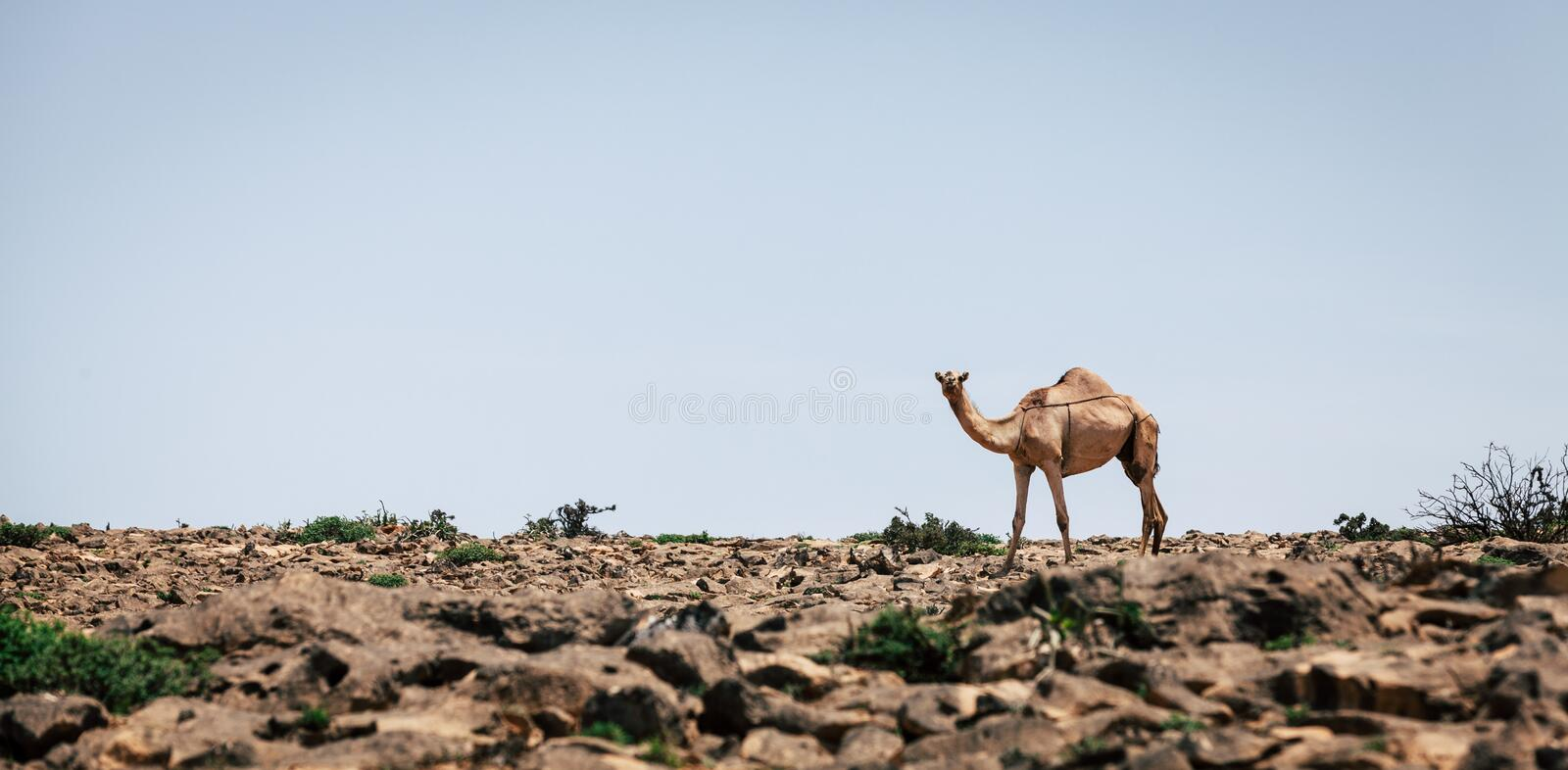 Camel in a desert in Oman royalty free stock photography